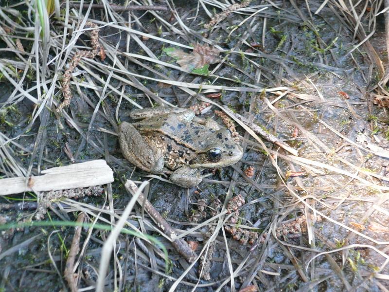 My froggy friend that I found.